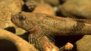 Fisch des Jahres 2014: Die Groppe