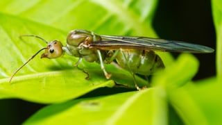 Was macht eine Ameise zur Königin?