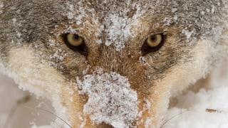 Die Geschichte vom bösen Wolf