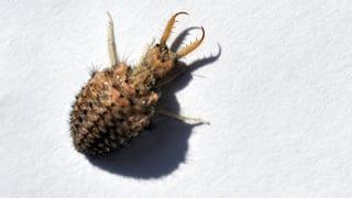Ein knallharter Killer: Der Ameisenlöwe (Artikel enthält Video)