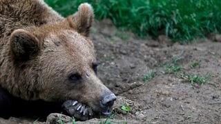 So lebt Rumänien mit den Bären