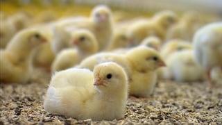 Video «Multiresistente Keime im Pouletfleisch: Konsumenten in Gefahr» abspielen
