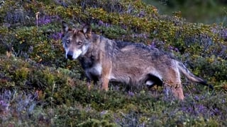 Neue Aufnahmen der Calanda-Wölfe