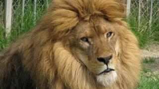 Löwen und Tiger des Siky-Parks brauchen mehr Zeit