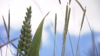 Video «Resistente Superunkräuter verursachen Ernteausfälle» abspielen