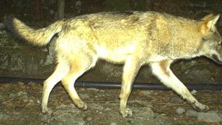 In Uri soll der Wolf nicht ausgerottet werden
