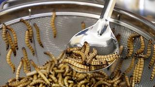 Berner Studis kreieren Mehlwurm-Pasta und Erbsen-Glace
