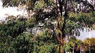 Zahlreiche Eschen im Kanton Bern sind vom Eschensterben betroffen