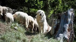 Herdenschutzhunde sorgen für Lärmklagen