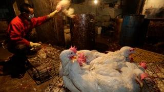 Grosse Impfaktion gegen Vogelgrippe in China