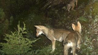 Erfolg für Wolfsgegner: Bund will Tiere früher abschiessen