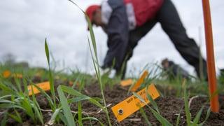 In Zürich spriesst bald wieder Gentech-Weizen