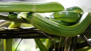 «Schlangen mögen kann man lernen»