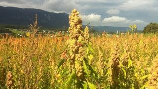 Quinoa - Der Inkareis wächst jetzt auch auf Solothurner Feldern