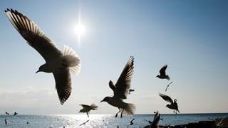 Vogelgrippe nun auch am Genfersee