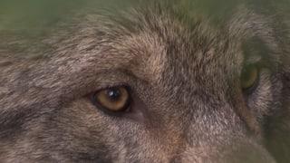 Video «Die vielen Wölfe der Schweiz» abspielen