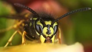 Quiz – Sind Wespen wirklich nur aggressiv und nervig?