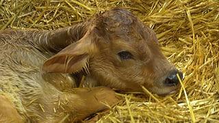 Transportvorschriften für trächtige Olma-Kühe