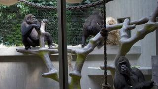 Basler Volksinitiative fordert Grundrechte für Affen