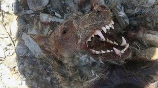 Rätsel gelüftet: Walliser Wolf wurde erschossen