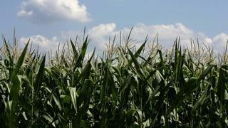 Die Rübe trotzt der Hitze, der Mais macht schlapp