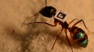 Video «Bio-Waffe gegen Ambrosia, Ameisenforschung, Liebeskummer» abspielen