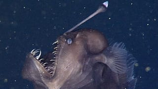 Aus einer anderen Zeit: Tiefseeteufel erstmals gefilmt