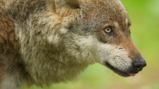 Die Idee von Wolf-Safaris kommt im Wallis schlecht an
