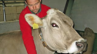 Arnika für Ostschweizer Kühe