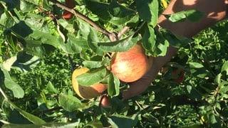 «Ein schöner Apfel hat Charakter und ist nicht makellos»