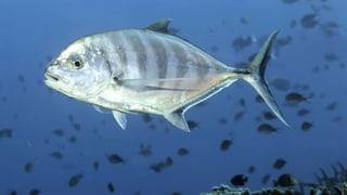 Die grossen Fische werden in den Meeren am stärksten befischt. Eine Studie zeigt: Das ist schlecht für die Arten.