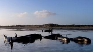 Nova Zelanda: Ulteriuras balenas èn idas a terra