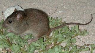 Australischer Nager wegen Klimawandel ausgestorben