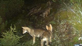 Schonfrist für Jungwölfe läuft Mitte Juli aus