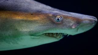 Rund 100 Millionen Haie werden jährlich wegen ihrer Flossen getötet. Die Artenschutzkonferenz stuft den Hai deshalb als bedrohte Tierart ein.
