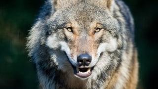 Der Wolf ist jetzt auch im Glarnerland
