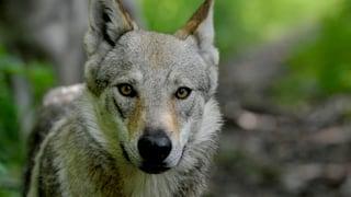 Die Wölfe verhielten sich unauffällig