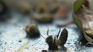 Bienensterben und ein Verdacht