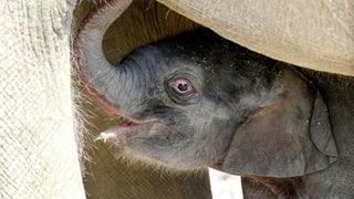 Das Elefantenbaby ist da