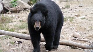 Der raffinierte Winterschlaf des Schwarzbären