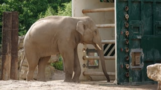 Der künftige Zuchtbulle Thai ist im Zoo Zürich eingetroffen