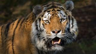 Zoo Zürich: Tiger Coto ist tot
