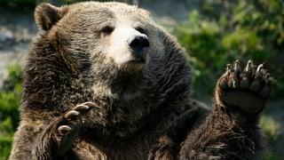 Skihasen besiegen den Grizzly-Bären-Geist
