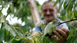 Baselbieter Kirschbäume sind bedroht