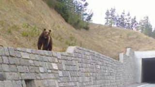 In Graubünden hält sich vielleicht ein zweiter Braunbär auf