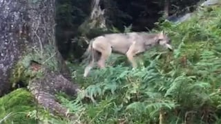 Wolf im Kanton Glarus unterwegs