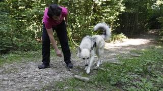 Mit Spürhunden gegen gemeinen Eindringling aus Asien
