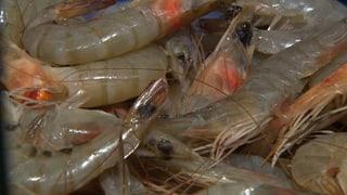 Crevetten mit resistenten Keimen belastet (Artikel enthält Video)
