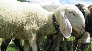 «Absolut unerklärlich»: Fünf Schafe stehen plötzlich wieder da