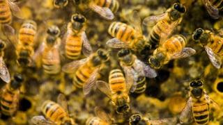 Gravierende Mängel in Syngenta-Studie zum Bienensterben